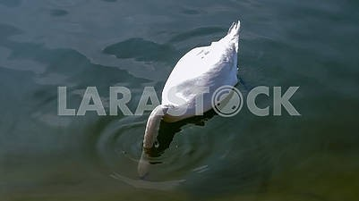 Beautiful white swan on the water close-up
