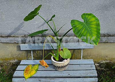 Large flowerpot aaron