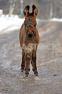Portrait of a baby donkey