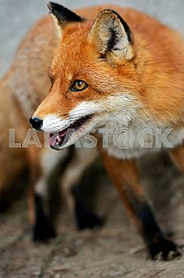 Fox portrait in natural habitat