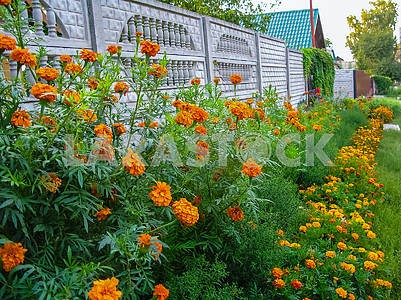 A flower bed of yellow-red flowers near the fence