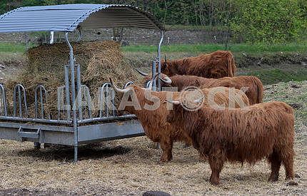beef breed cows