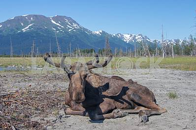 Alaskan moose postal on vacation.