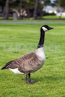 Canadian gray goose with black head and beak