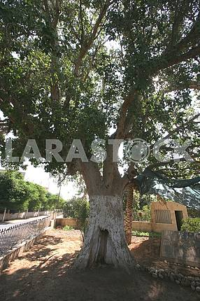Zaccheus Sycamore Tree in Jericho