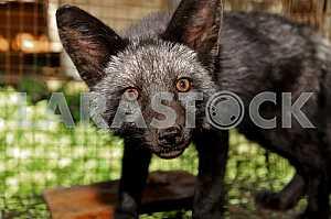 Portrait of black foxes