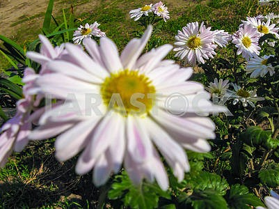 White daisies and bees