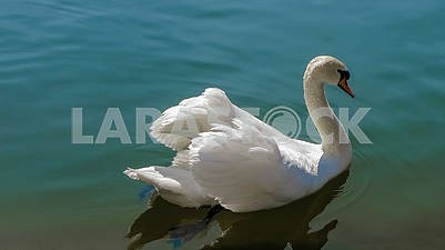 Beautiful white swan on the water 7