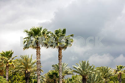 Palm grove before the rain