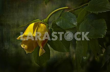 Close-up on a diagonal yellow rose with raindrops. painting in the style of treatment.