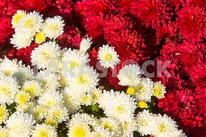 Chrysanthemums in the botanical garden