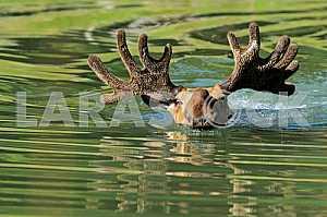 Elk floats.