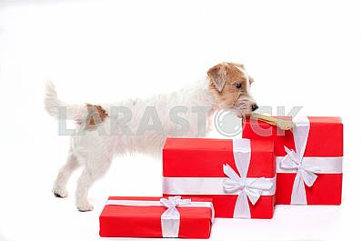 Young dog Jack Russell terrier with Christmas gifts