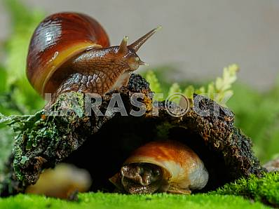 Two snails Achatina near his hiding