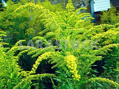 Ambrosia bush in bloom. Ragweed Plant in Nature, Allergy Season