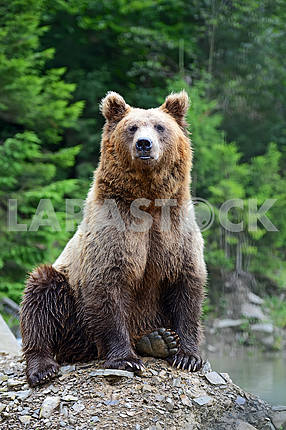Brown Bear in the woods