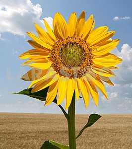 Sunflower in a wheat field