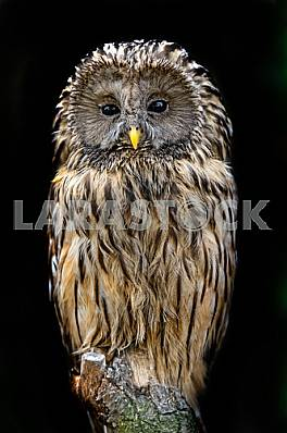 two-tailed owl