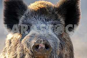 Muzzle wild boar
