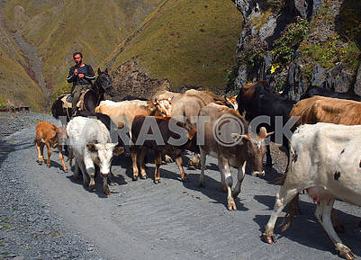 Herd of cows in the mountains