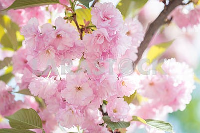 Cherry Blossom trees, Nature and Spring time background. Pink Sa