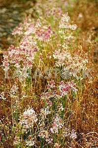 Unique flowers. Monastyryshche summer