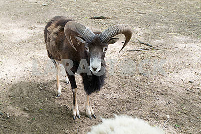 Mouflon or ovis orientalis, forest horned animal in organic animal farm. With big horns