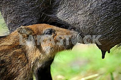 Wild boars. Piglet drinking milk from his mother