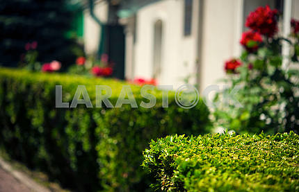 Trimmed boxwood shrub in the home garden