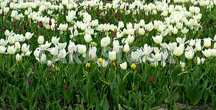 A flower bed of white tulips in arboretum