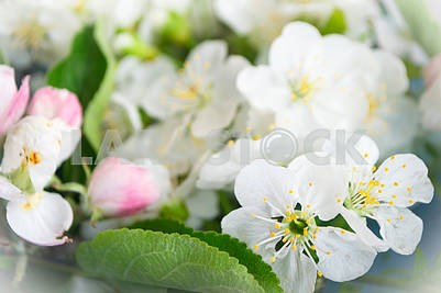 Flowers of the cherry blossoms on a spring day, blurry background