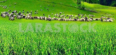 Sheep Carpathians