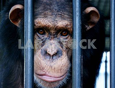 Portrait of a gorilla in a cage