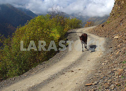 Lonely cow on the Tusheti road