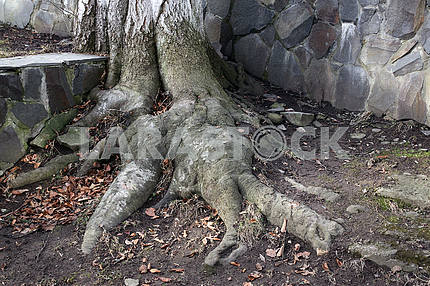 Old tree with roots