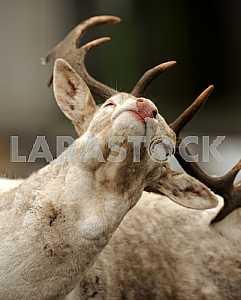 Deer antlers back scratching