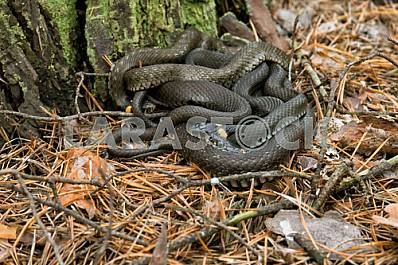 Family snakes . Last warm autumn pine forest