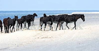 A herd of black horses on the beach