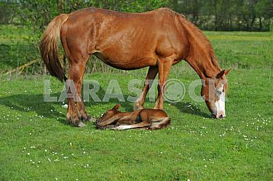 The newly-born foal.