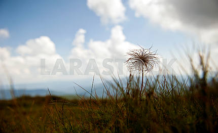 Prickly grass - flowers, thorns grow on the slopes.