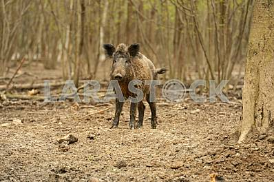 Wild boar and roots