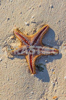 Starfish of the ocean shore