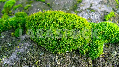 Green moss on the stones close-up