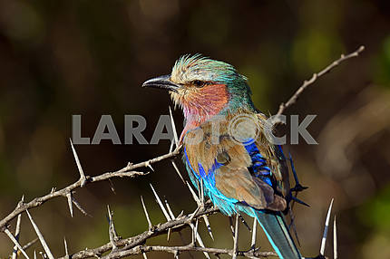 Kingfisher in the African savannah
