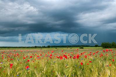 Barley Field of Poppies