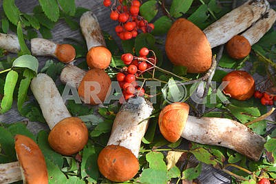 Autumn fall composition top view of edible mushrooms leccinum on rustic table. Flat lay top view