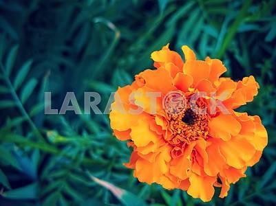 Бархатцы мелкоцветные, оранжевый цветок крупным планом на фоне зеленых листьев