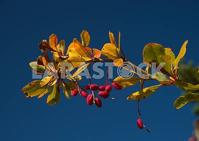 Branch of dogwood berries