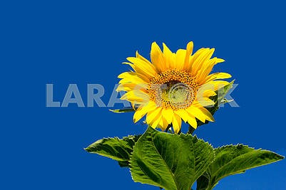Young sunflower against the sky