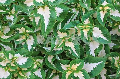 Decorative nettle